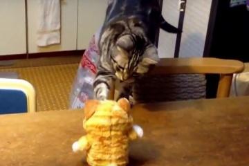 しゃべる猫のおもちゃにビビるアメリカンショートヘア