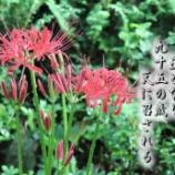 『彼岸花』の画像