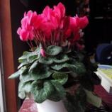 『正月の我が家の花;東大和市』の画像