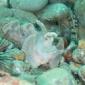 ホウセキカサゴ