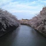 『満開の桜』の画像
