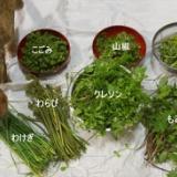 5/7 草津の山菜写真のサムネイル