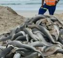 海岸に大量投棄されたサメの赤ちゃん、頭とヒレが切り取られていた