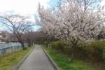 交野の桜を訪ねてみた②~交野第一中学校のところ~