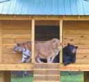 クマ、ライオン、トラ 仲良しBLT三兄弟