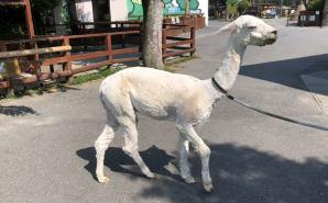 夏の暑さに備えて毛刈りしたアルパカ