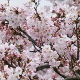 レポート:桜ツーリングと茶茶