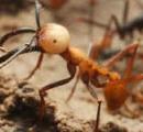【悲報】世界で一番強い虫、スズメバチさんランク外にwwwwwwwwwww