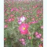 『昭和公園「ピンクコスモス」』の画像