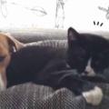 ネコを枕にして犬がくつろいでいた。迷惑だったかな? → いいえ、そうじゃないようです…