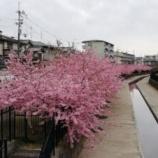 『淀の河津桜を見に行きました。』の画像