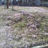 『戸田市五差路脇に芝桜が咲き始めました』の画像