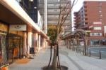 交野市駅ローターリーの『1日で葉っぱが全部落ちた木』が芽生えてる!