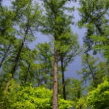 『永遠なる命に象徴される常磐木の葉っぱ』の画像