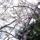 『まだ・・・・・・(桜)』の画像