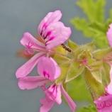 『【写真】 Xperia 5 作例  梅雨の花(クローズアップ+等倍クロップ)』の画像