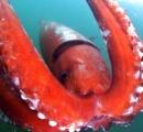 港に迷い込んだ巨大イカ、1週間ぶりに沖合へ (画像あり)