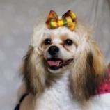 『里親募集  富山市ワイズドギーでは、ミックス犬の里親を募集しておりましたぁー!』の画像
