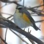 20160126小鳥の森ルリビタキ