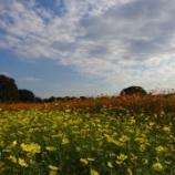 『今が見所!昭和記念公園のコスモス畑』の画像