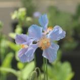 『美しいヒマラヤの青いケシ』の画像