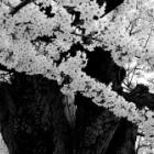 『桜・さくら・サクラ』の画像