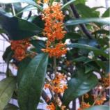 『戸田市を代表する木・金木犀の香りに包まれて!』の画像