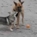 イヌが「ボール」で遊んでいた。ねぇねぇ、それ貸してぇ♪ → 子犬はこうなります…