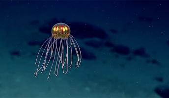 まるで宇宙人のような新種の発光クラゲを発見!3,700Mの深海で撮影に成功