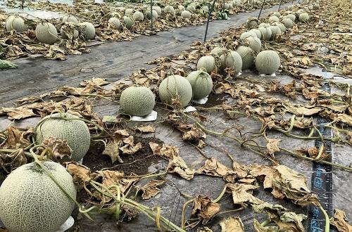 陰湿田舎民、メロン約6000個に除草剤を撒く・・・わいたちのメロンどないしてくれるん!?!?のサムネイル画像