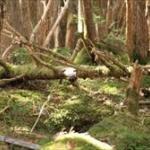 すごいこと思いついた! 倒木になめこ菌植え付ければ自然に倒木処理してくれるんじゃね?