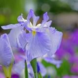 『【写真】 a7R  堀切菖蒲園へ。梅雨の花 2』の画像