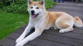 【中国】日本から46万円で買い付けた秋田犬、泥棒に盗まれ食べられる…犯人「食べたいと思ったから」