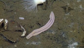 【深海ヤバイ】60年前に見つかった謎の深海生物『ちんうずむし』ついに正体が判明