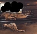 【冬到来】猫バンバンの季節!米国ではトヨタ車からボブキャット見つかる