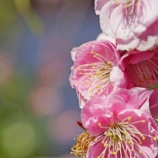 『本日の花② 亀戸の梅等 @a7R』の画像