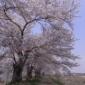 金崎のさくらまつり のどかな桜並木の通り抜け(動画付き)