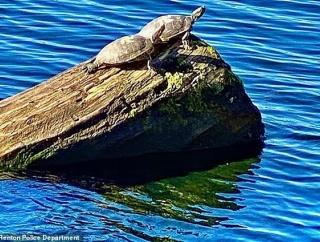 ワシントン湖で寺院の地図記号が人為的に甲羅にペイントされたカメが発見され騒ぎに [11/12]