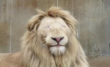宇都宮動物園のホワイトライオンさんの寝顔wwww
