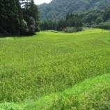 『稲の生育と猪の被害・・・そして蕎麦の出芽』の画像