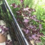 『とりあえず、赤紫蘇ジュース』の画像
