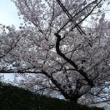 『'2016お花見🌸~池田城跡公園』の画像