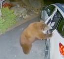 クマが手慣れた手つきで車のドアを開けて車に乗り込む様子が監視カメラにとらえられる