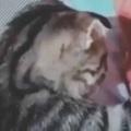 ネコ好きだったら通ってみたい? はい、お口を大きく開けて → 子猫の歯医者さんはこんな感じ…