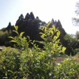 『岩首の棚田で茶摘み!』の画像