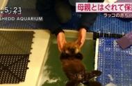 【画像】ラッコの赤ちゃん可愛えぇぇぇぇwwwwwwwww