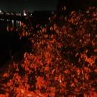 『【植物】怪しげな感じの紅葉【写真あり】』の画像