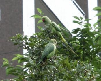 野生化したワカケホンセイインコが東京や神奈川で大量発生 鳴き声が大きく住民は困る(画像あり)
