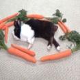 お昼寝中のウサギを気持ちよく起こすには?とりあえずニンジンで魔法陣を作ってみた