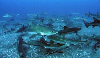 ワイサメ、サメ仲間10匹と海水浴を満喫